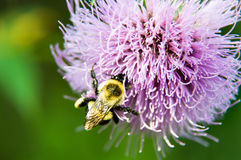 Lavender Thistle Bloom and Bumble Bee. Growing in the middle of a North American meadow is a beautiful purple or lavender blossom that will be guarded with royalty free stock photos