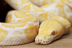 Lavender Tiger Albino Python Royalty Free Stock Photography