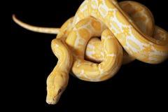 Lavender Tiger Albino Python Royalty Free Stock Images