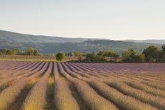 Lavender tree Royalty Free Stock Photo