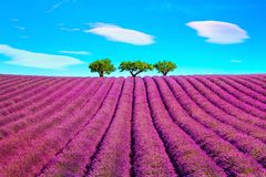 Lavender and trees uphill. Provence, France. Lavender flowers blooming field and a trees uphill. Valensole, Provence, France, Europe Stock Photos