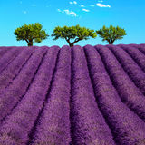 Lavender and trees uphill. Provence, France Stock Images