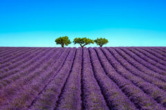 Lavender and trees uphill. Provence, France Stock Photos