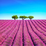 Lavender and trees uphill. Provence, France Stock Photography