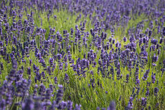 Lavender true in a field Stock Photo