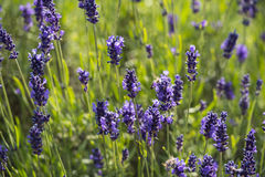 Lavender true in a field Stock Photography