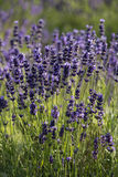Lavender true in a field Royalty Free Stock Photos