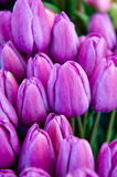 Lavender Tulip Buds Stock Photos