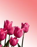 Lavender tulips. Isolated lavender tulips royalty free stock photography