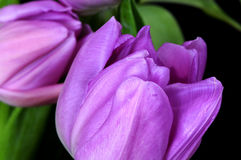 Lavender Tulips Stock Photos