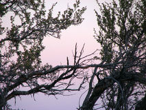 Lavender Twilight. Juniper trees and sage bushes with a misty mountain backdrop Royalty Free Stock Images