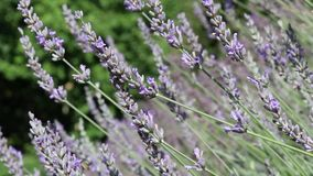 Lavender twigs moving in the wind stock footage