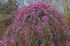 Lavender twist weeping redbud tree in blossom. Lavender twist weeping redbud Cercis canadensis Lavender Twist Royalty Free Stock Images