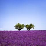 Lavender and two trees uphill. Provence, France Royalty Free Stock Images