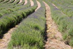 lavender UK νησιών καλλιέργειας κ&al Στοκ Φωτογραφία