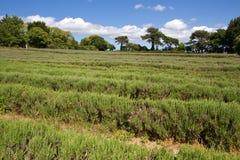 lavender UK νησιών καλλιέργειας κ&al Στοκ φωτογραφία με δικαίωμα ελεύθερης χρήσης