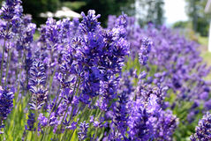 Lavender Under the morning sun Stock Images