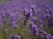 Lavender up close at lavender field. Lavender up close in the lavender farm royalty free stock photos