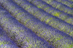 Lavender in Valensole, Provence Royalty Free Stock Image