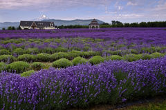 Lavender Valley Royalty Free Stock Photography