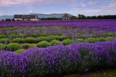 Free Lavender Valley Stock Image - 25917041