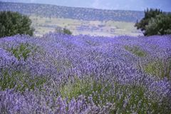 Lavender valley view.Isparta/Turkey Royalty Free Stock Photography
