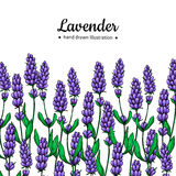 Lavender vector drawing border.  wild flower and leaves. Herbal artistic style illustration. Stock Photos