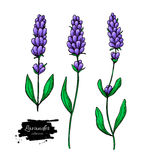 Lavender vector drawing set. Isolated wild flower and leaves. Herbal artistic style illustration. Lavender vector drawing set. Isolated  wild flower and leaves Royalty Free Stock Photos