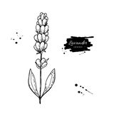 Lavender vector drawing set.  wild flower and leaves. Herbal engraved style illustration. Lavender vector drawing set.   wild flower and leaves. Herbal engraved Royalty Free Stock Images