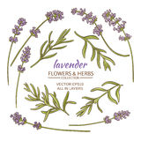 Lavender vector set. Lavender flowers and leaves set on white background Royalty Free Stock Images