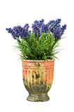 Lavender in vintage pot Royalty Free Stock Images
