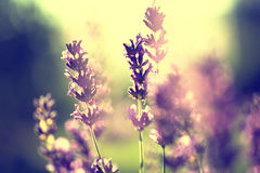 Lavender vintage sunset Royalty Free Stock Images