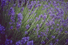Lavender - vintage tone. Flowering lavender in field, close up Stock Photo
