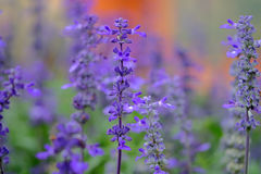 Lavender violet color. In the Park stock image