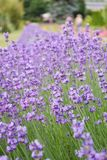 Lavender meadow. Lavender violet flowers on the meadow and white genuine butterfly on the lavender royalty free stock photo