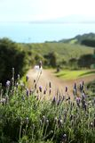 Lavender in Waiheke island in New Zealand Royalty Free Stock Images