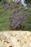 Lavender on wall Stock Photo