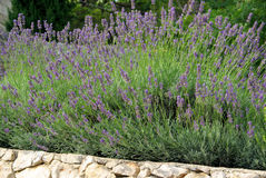Lavender on wall Stock Photos