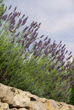 Lavender on wall Royalty Free Stock Photo
