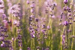 Lavender wallpaper Royalty Free Stock Photo