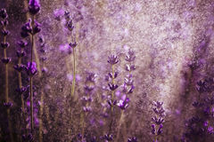 Lavender wallpaper Stock Photo
