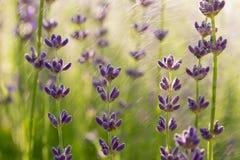 Lavender wallpaper Royalty Free Stock Photos