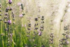 Lavender wallpaper Stock Photos