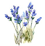Lavender Watercolor Flowers Illustration Hand Painted. Hand painted Watercolor illustration of Lavender Flowers Stock Image