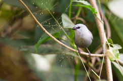 A Lavender Waxbill in Gambia stock photography