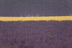 Lavender and wheat field close up. Close up of several lavender and wheat field nearby Valensole, in Provence, France Stock Photo