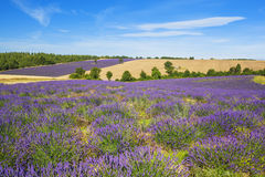 Lavender and wheat field Royalty Free Stock Images