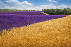 Lavender and wheat fields Stock Photo