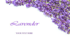 Lavender  on a white background. Branch of a lavender  on a white background Royalty Free Stock Image