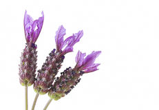 Lavender on white background Stock Images